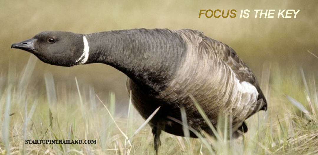 A wild duck on a grass steadily standing with a straight neck angle down and a text caption 'Focus is the key'
